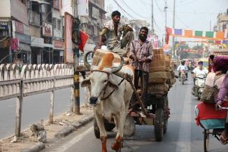160929 034 Delhi - Cow-drawn cart