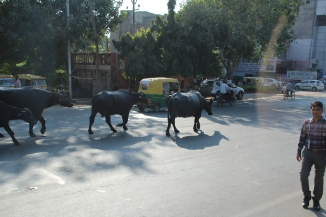 IMG_2700 Agra cows on road
