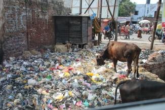 IMG_2866 Agra - Cow on litter dump