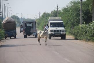 IMG_3803 Jodhpur - Cow in road